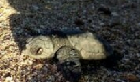 AMBIENTE - Wwf, nati i primi piccoli di tartaruga marina dal nido di Campomarino