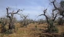 IL PUNTO/ Xylella,  l'allarme Coldiretti :avanza nelle province di Brindisi e Taranto