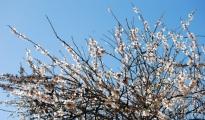 """CLIMA PAZZO/ Coldiretti """"alberi in fiore, finta primavera in Puglia"""""""