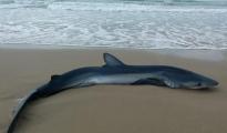 PALAGIANO-CHIATONA / Squalo spiaggiato dopo l'attacco di un pesce spada, niente da fare neanche per i piccoli