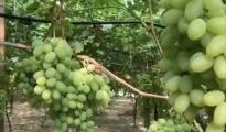 FINANZIAMENTO REGIONALE/ Nasce a Grottaglie, città delle uve, il Centro servizi per l'agricoltura