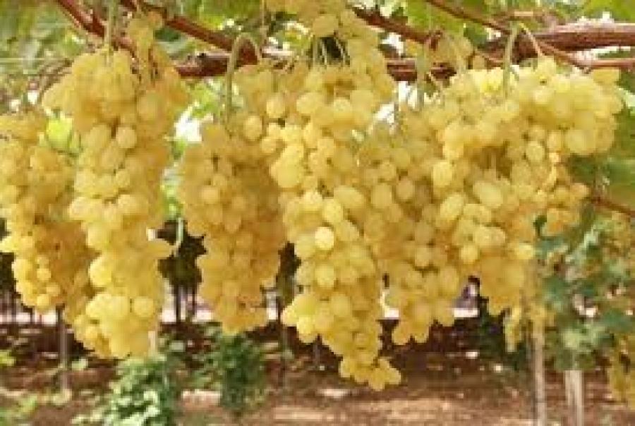 Giornale di taranto crisi uva da tavola l 39 assessore - Uva da tavola puglia ...
