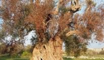 EMERGENZE/ Coldiretti Xylella, bene la richiesta di calamità a Taranto. In un anno di monitoraggio, 314 gli ulivi infetti nella sola provincia ionica