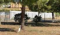OSPITE GRADITO/ L'airone bianco che ama passeggiare a Taranto due