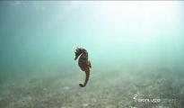 BELLEZZA/ In un documentario della BBC Taranto, la città dei cavallucci marini